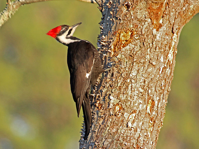 Pileated Woodpeckers will feed from you Ash trees infected with EAB