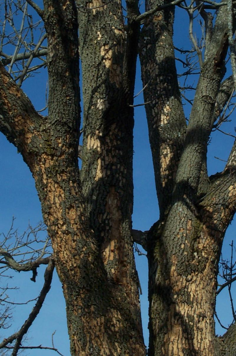 Symptoms of an Ash tree with Emerald Ash Borer infestation